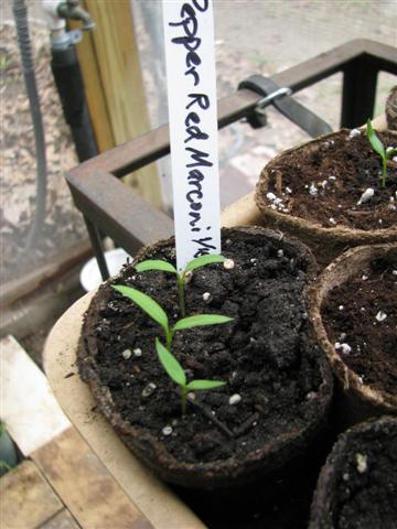 You only need 1-2 seedlings per pot.