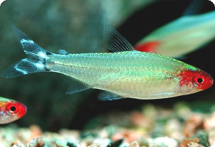 Rummy nose tetras are unique and cute!