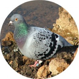 Wendl, the Homing Pigeon!
