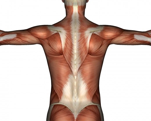 Back muscles and spine