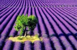 Benefits of lavender plants for health and for home. Lavender recipes.