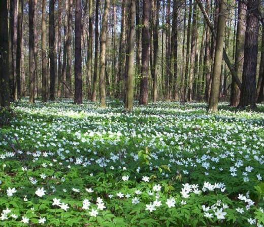 Wood anemones carpeting the woodland floor.