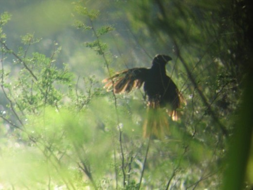 Early morning ani, drying the dew off her wings.