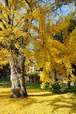 Ginkgo tree in autumn