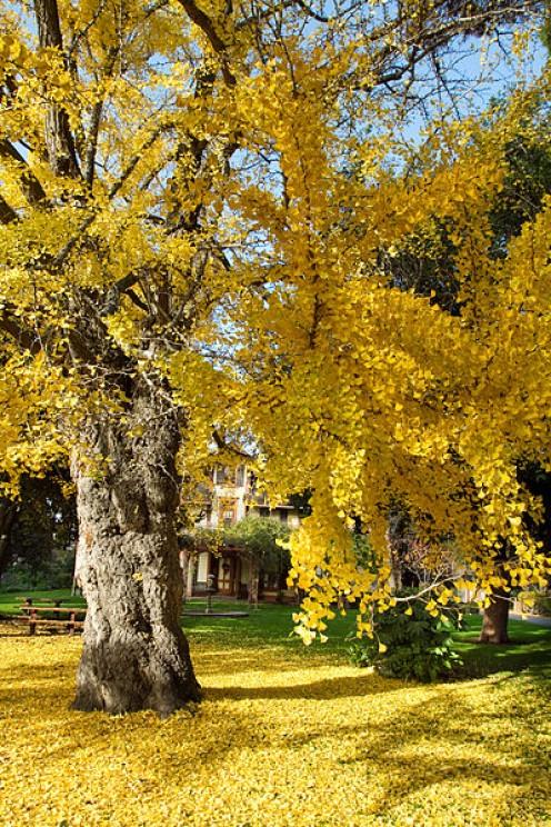 Ginkgo tree in autumn