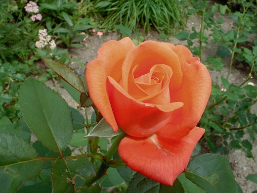Tropicana rose.  Photo by: timorous