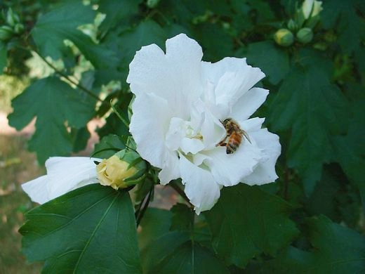 Rose of Sharon.  Photo by: timorous