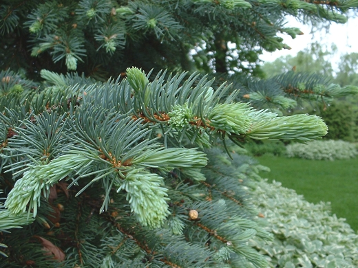 Blue Spruce tree (new buds).  Photo by: timorous