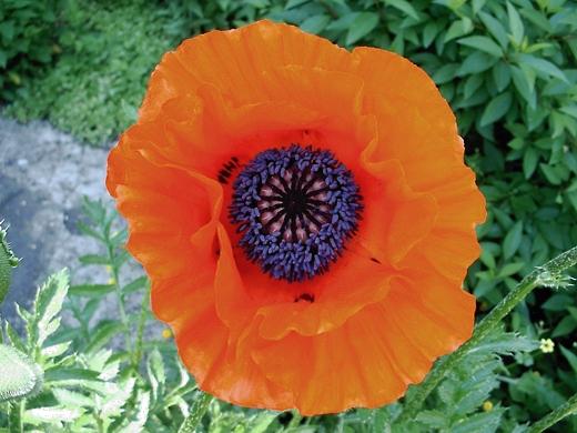 Oriental Poppy.  Photo by: timorous