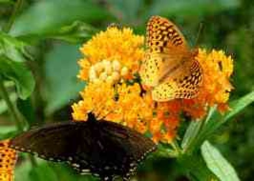 2 butterflies on an Orange Butterfly Plant