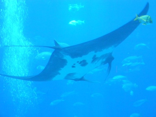 "Nandi - the very first manta ray included in a U.S. Aquarium, ever! ""Nandi was rescued from shark nets off the coast of Durban, South Africa and rehabilitated by uShaka Marine World."" - from www.georgiaaqurium.com"
