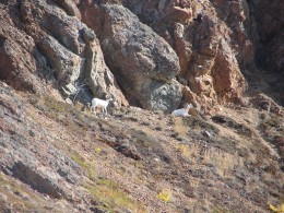 Mountain Goats in Carcross