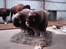 Muskox in the Wildlife Musuem