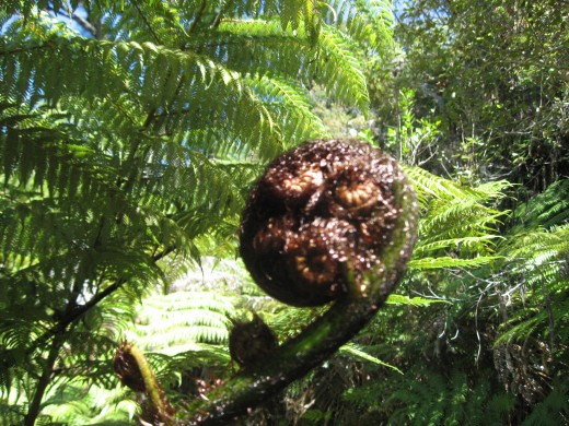 A big spiral fidlehead fern.