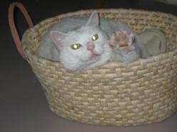 Heart Disease in Cats Cured