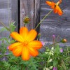 wildorangeflower profile image