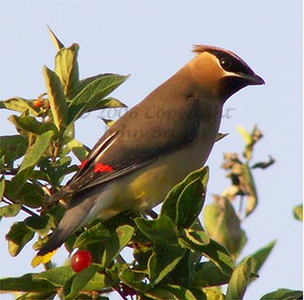 Cedar Waxwings tend to travel in small groups, and are attracted to trees that bare berries. A few trees or shrubs that waxwings are attracted to, are Eastern Red Cedar, and Autumn or Russian Olive