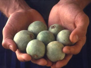 Tuitui nuts used for juggling