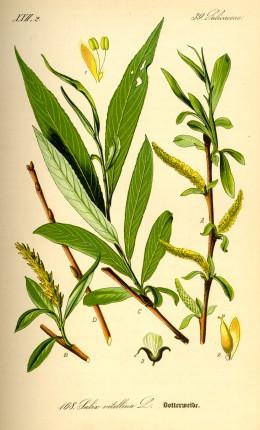 Willow Bark is one herbal alternative to Aspirin