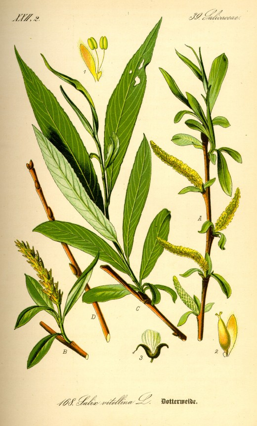 Willow Bark is one herbal alternative to Aspirin