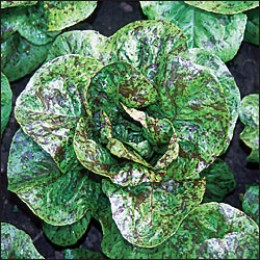 Forellenschluss;  This Romaine lettuce is an Austrian heirloom that displays a wonderful color of green leaves speckled with maroon, very attractive in salads.  Amazing taste and also is heat tolerant.