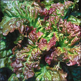 Susans Red Bibb;  This is a curled leaf lettuce and its edges are tinged with red and its center a lime green, that offers a mild flavor.  This variety is also a loose leaf lettuce but is slower than the Deer Tongue and Bronze Arrowhead, 50-60 days.
