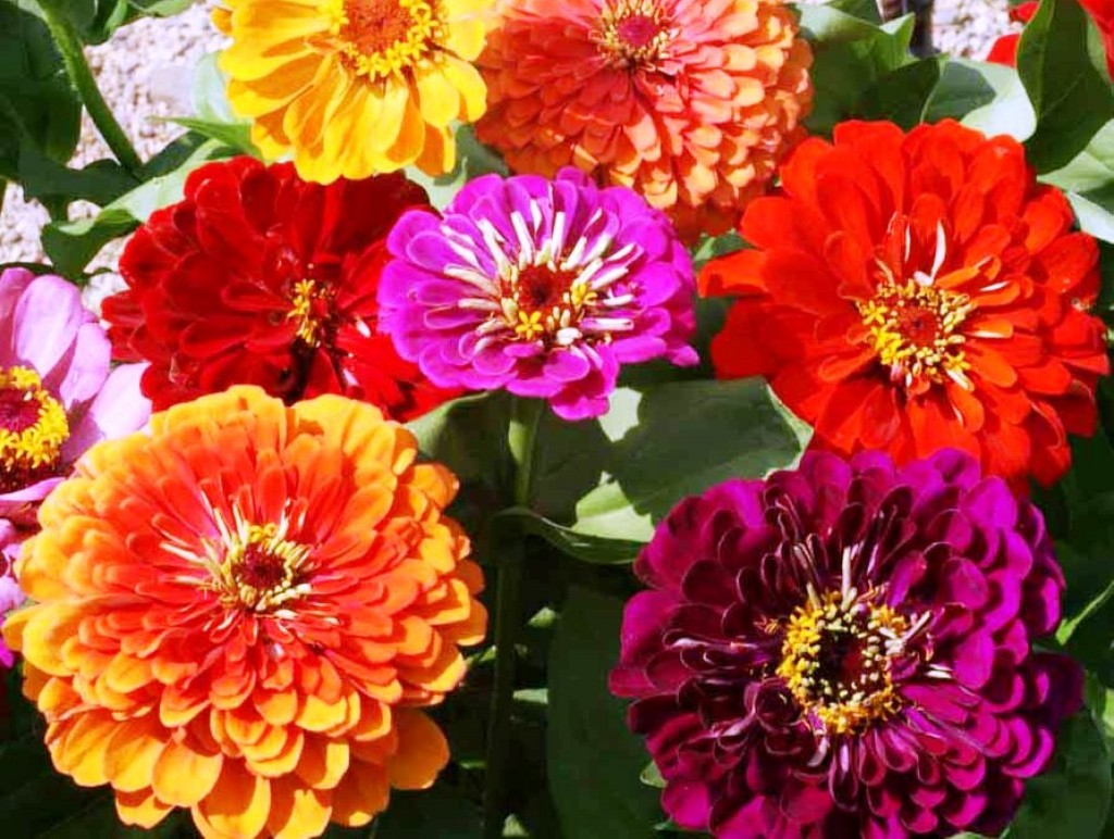 Growing zinnia flowers easy plants for your landscape and for Best flowers to grow in california