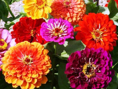 Colorful and fun zinnias brighten any landscaping spot