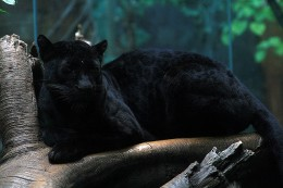A Black Panther, which is a melanistic specie of several big cats.