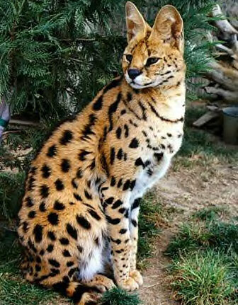 The ancestor of all Savannahs, the African Serval.