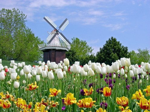 Colorful fields of flowers at the Holland Michigan Tulip Festival