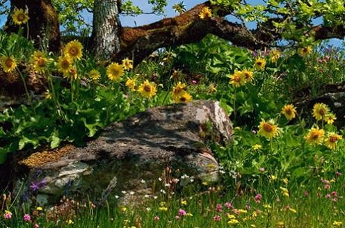 Endangered deltoid balsamroot flowers growing under Garry oak trees