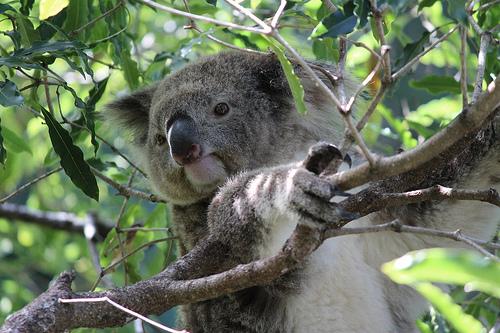 Koala Bear from Canon Photo on Flickr