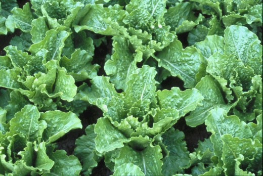 Crisp Mint; Is a Romaine that grows upright to about 10 inches and has an excellent flavor with mint-like leaves.