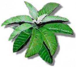 Herbal Medicine: Sambong
