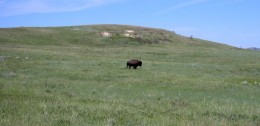 A lone buffalo in Custer National Park