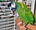 All about Mini Macaws