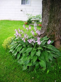 Bob Ewing, hostas, the plant I moved was located beside but seperate from this clump.