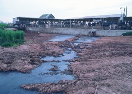 From factory farms comes a toxic flow of waste the contaminates surrounding land and waterways.