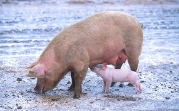 Sow with a piglet