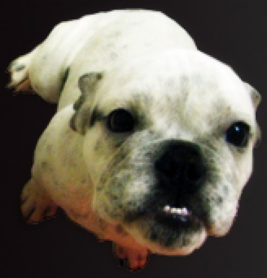 English Bulldog. (Property of BigBadBully.com)