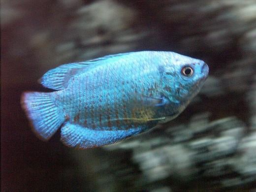 Dwarf Blue Gourami
