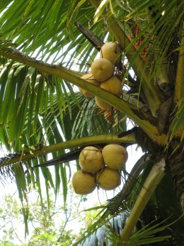 Coconuts hang from a tree