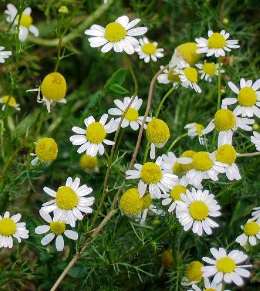 German chamomile is the preferred plant of tea lovers.