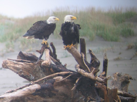 Bald Eagles for your viewing pleasure.