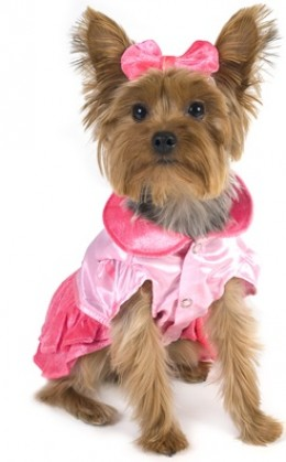 Mini Yorkie dressed in her Pink Princess Costume