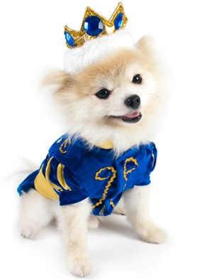 Cutest Chiuaua dressed in his highness Royal Pet Costume
