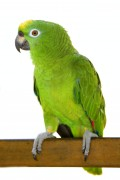The brilliant Amazonian Parrot