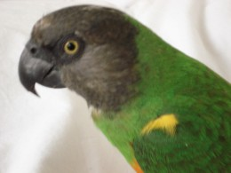 My simply adorable Senegal Parrot Syd who is six years old now.