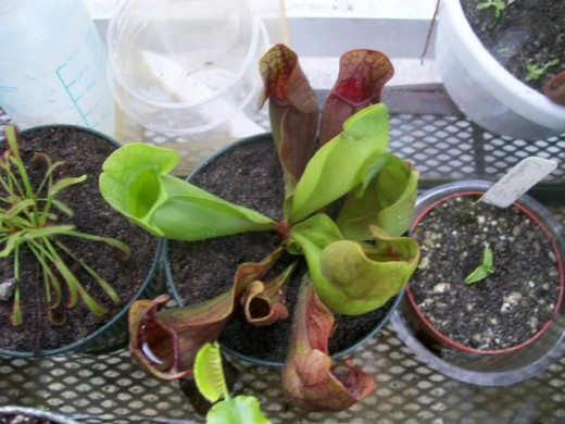 cultured meat-eating pitcher plant